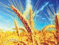 Russian Agriculture Ministry Raises 2018 Wheat Harvest Forecast b ..