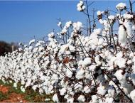 Pakistan Central Cotton Committee (PCCC) developed 53 cotton seed ..