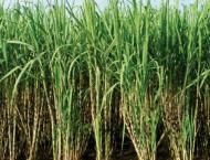 Rice, sugarcane production increased during current season: Feder ..