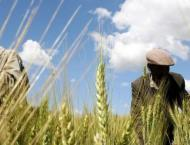 Farmers should start wheat cultivation from Oct 15