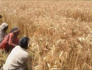 Farmers to start wheat cultivation from today