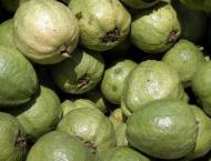Punjab govt organising Guava Yield Competition