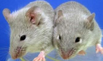 Of mice and men: scientists produce babies from same-sex mice pai ..