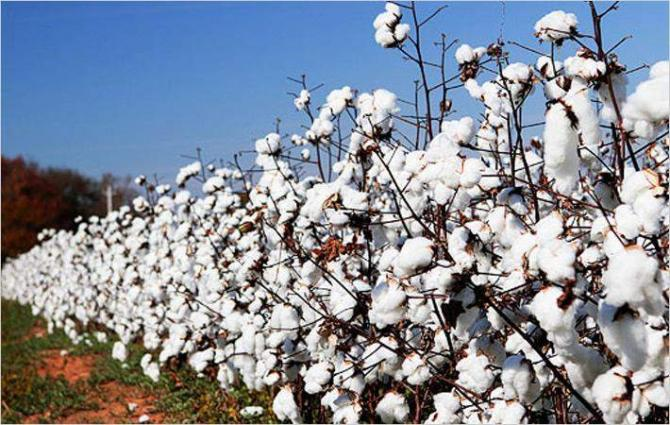 Image result for cotton plant pakistan