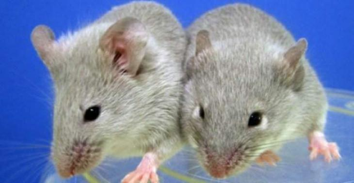 Of mice and men: scientists produce babies from same-sex mice pairs