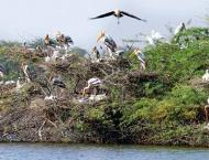 Enlarged forests cover in KP attracts migratory birds in flocks