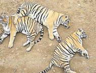 China postpones lifting rhino, tiger parts ban
