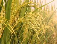 Rice output drops to lowest level in nearly 40 years
