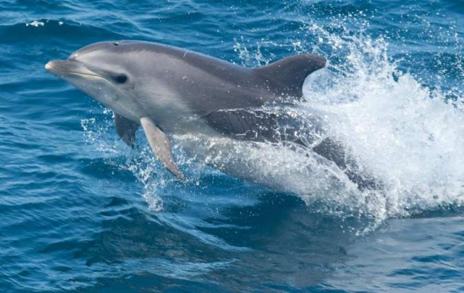 Aussie dolphin genes study shows importance of migration