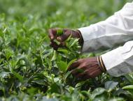 """Scientists discover tea plants can send chemical """"Mayday"""" during  .."""