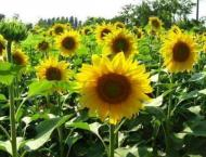 Growers advised to start Baharia sunflower cultivation from Janua ..