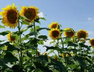 Farmers advised to cultivate sunflower instead of late wheat sowi ..