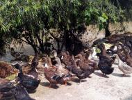 Duck rearing serves as bioshield against malaria,dengue