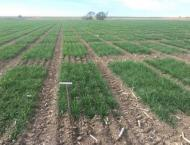 Growers advised to water wheat crops timely