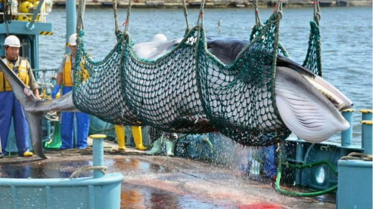 Japan to restart commercial whale hunts