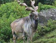 Man awarded six month jail for shooting Markhor in Hunza