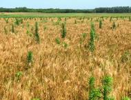 Removal of weeds necessary for better wheat yield