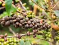 Over half of wild coffee species at risk of extinction: Researche ..