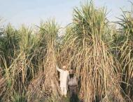 Sugarcane cultivation should be started from February