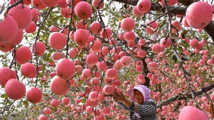 Imported Fruit In Vogue In Western China - UrduPoint
