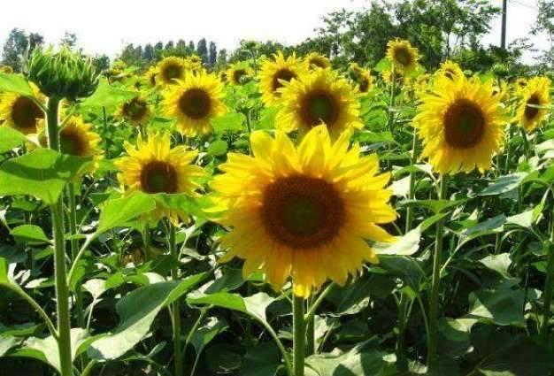 Baharia sunflower cultivation should be completed by mid Feb