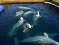 Rally to Defend Orcas, Belugas From 'Whale Jail' in Russia's Far  ..