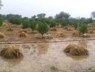 Heavy rains, winds damage crops in Islamabad