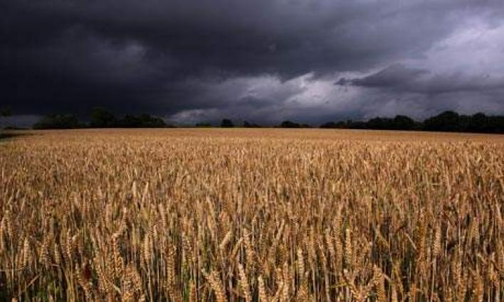 Rains, hailstorm damage wheat crops on hundreds of acres in Punjab