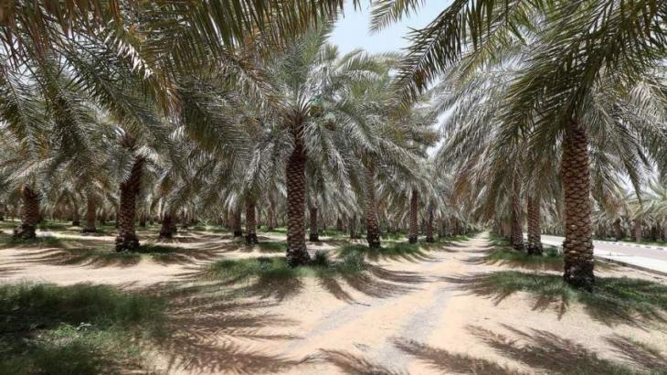 Abu Dhabi conducts survey on over 4 million date palm trees in Q1