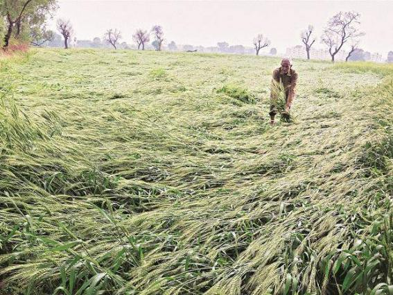 Survey begins for assessment of crop losses caused by hailstorm,rain