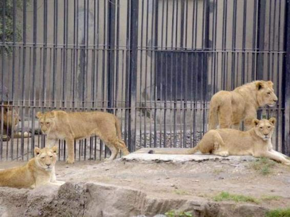 Lahore Zoo to receive 18 big cats from UAE