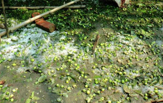 Horticulturist fear serious impact of hailstorm and rain on mango crops