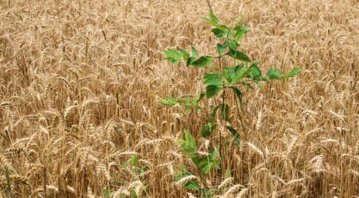 Faisalabad Agriculture University develops technology to control wheat weeds