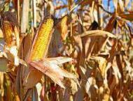 Ministry, NARC directed to rescue dying corn crop