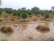 Due to heavy rains, about 1.3 million tonnes of wheat crop had be ..