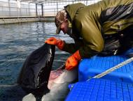 Orcas From 'Whale Prison' in Russian Far East to Be Released Into ..