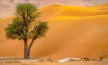 شجرة الغاف ..  شعار عام التسامح  في الإمارات ..