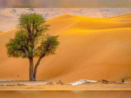 شجرة الغاف ..  شعار عام التسامح  في الإمارات و مصدر الحياة و عنوان الاستقرار وسط الصحراء