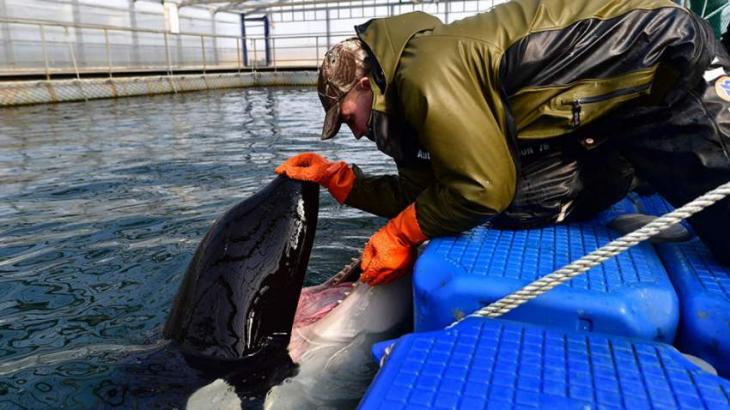Orcas From 'Whale Prison' in Russian Far East to Be Released Into Wild by Fall - Ministry