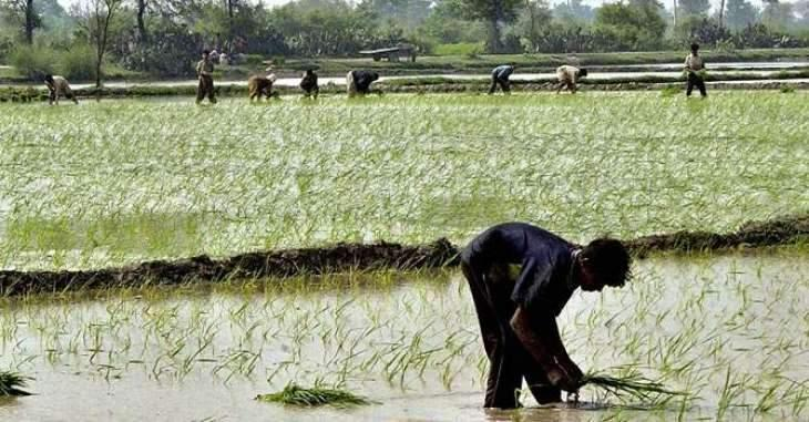 Rice cultivation should be completed by July 31 in Faisalabad `