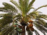 Dates Exporters of Pakistan participates in World Palm Dates Expo ..