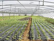 Tunnel farming gains popularity in Punjab