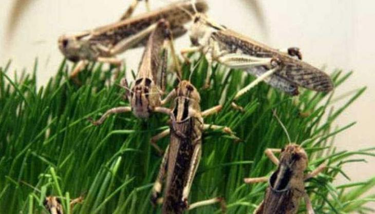 Locusts attack enters in Punjab, Agriculture department sprays urgently