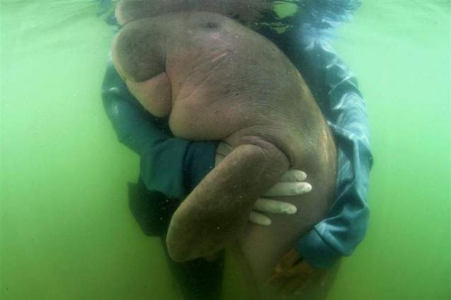 Beloved baby dugong 'Mariam' dies in Thailand with plastic in stomach