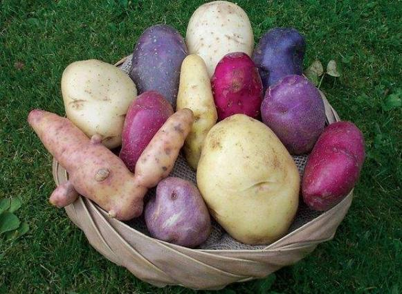 PARC recommends 11 new potato verities for commercial cultivation