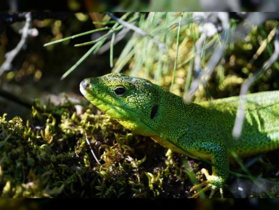 Lacertid lizards may be unable to cope with climate change