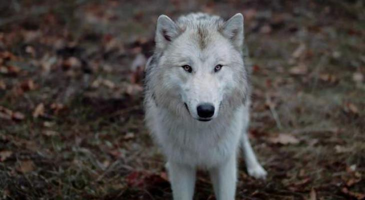 Wolf hunting to breed Wolf Dog revealed in Potohar region