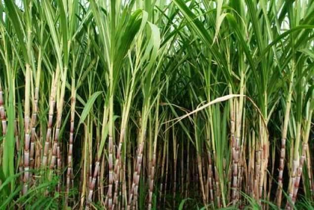 Sugarcane,canola to be cultivated in Sept in Faisalabad