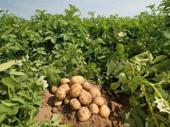 Potato cultivation should start immediately: experts