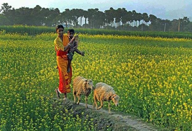 Punjab govt evolves plan to promote oilseed cultivation